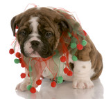 red brindle puppy wearing christmas scarf with reflection poster
