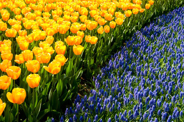 Yellow tulips and common grape hyacinths