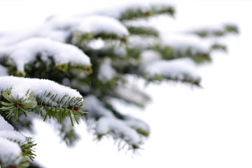 Christmas evergreen tree with fresh snow