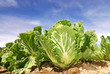 Green vegetable ,Chinese cabbage farm.