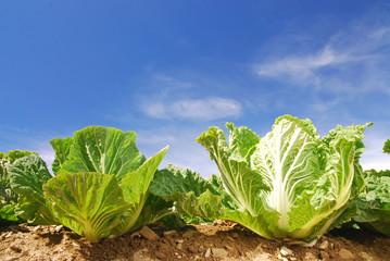 Vegetable,fresh,green,clear,farm.