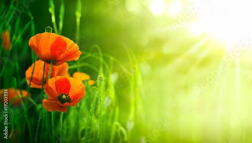 fleurs de coquelicots dans un champs - coquelicot