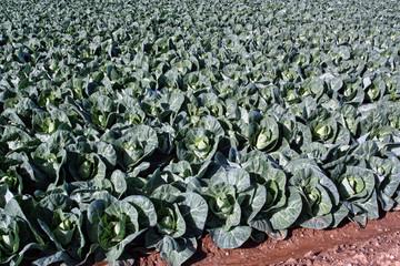 plantación de coles