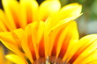 orange Chrysantheme @Ü7