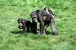 Schimpansenfamilie