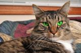 Maine Coon Cat with GREEN Eyes poster