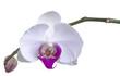 Orchidee freigestellt