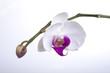 Orchidee #1