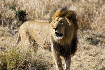 SOUTHEAST AFRICAN LION (TRANSVAAL LION)