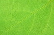 limbe feuille verte vigne fond blanc