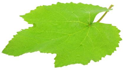feuille verte vigne fond blanc