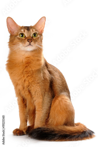 Somali cat sitting isolated on white bakcground