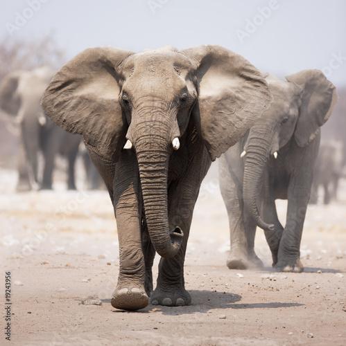 Plakát, Obraz Elephant herd