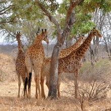 four giraffes resting under tree,Kruger NP