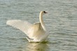 Beautiful swan spreads its wings on the lake
