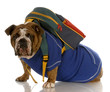 english bulldog wearing blue sweater with backpack