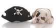 english bulldog puppy dressed up like a pirate