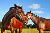 Two horses in enclosure poster