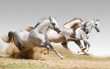 three stallions in dust