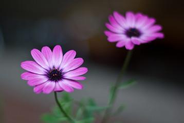 Kapkörbchen Blume