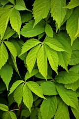 green parthenocissus