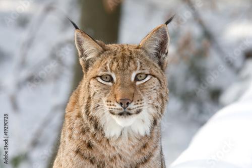 Deurstickers Lynx Luchs-Porträt