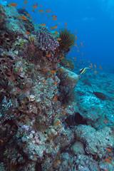 The moorish idol (Zanclus cornutus) near coral wall