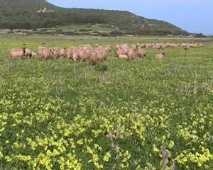 Le pecore ritornano all'ovile