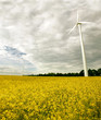 Alternative energies - Windmills and a rape field