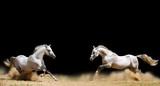 Fototapety two stallions