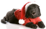 laughing newfoundland puppy wearing santa coat and hat poster