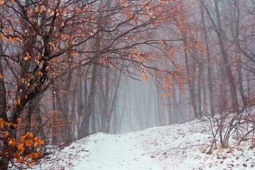 winter beech forest in a myst