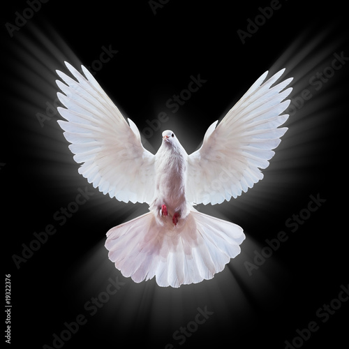 stock photo White dove