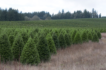Oregon Christmas Tree Farm