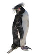 Isolated macaroni penguin