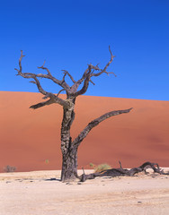 Died tree in desert