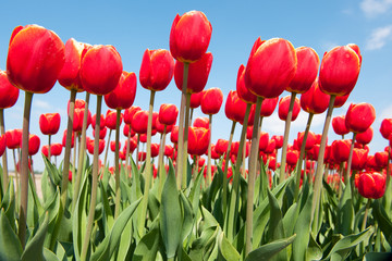 Red tulips in the fields