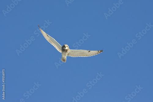 Plexiglas Uil short eared owl (Asio flammeus) in flight