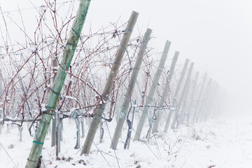 Snowed vineyards in the fog