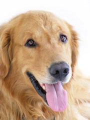 Golden RetrieverA