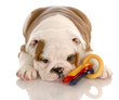 eight week old bulldog puppy playing with colorful dog toy