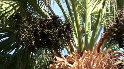 Palme, Früchte