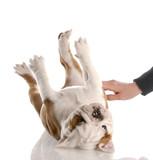 english bulldog puppy getting a tummy rub poster