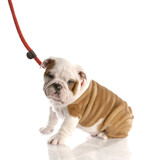 nine week old english bulldog puppy on a leash sitting poster