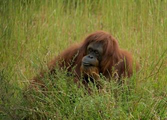 Orangutan in the grass. (Pongo abelii) (Pongo pygmaeus).