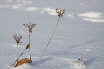 dead plants in the Snow