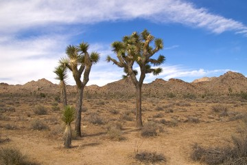 Joshua trees from young to old, showing how they grow