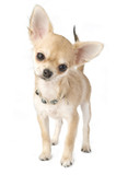 chihuahua puppy with necklace portrait isolated