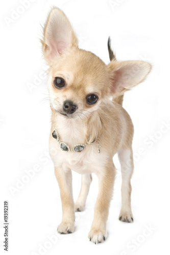Poster chihuahua puppy with necklace portrait isolated