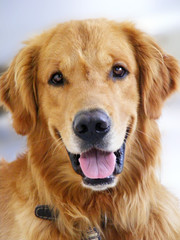 Golden RetrieverC